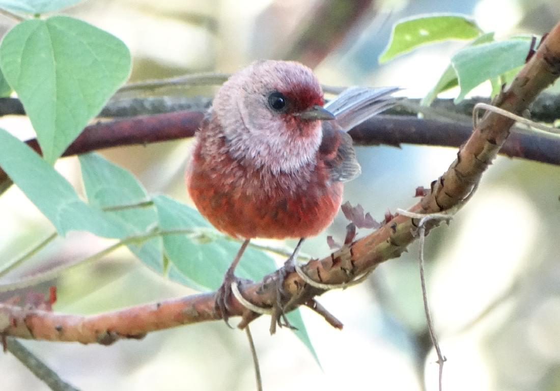Ornitologìa